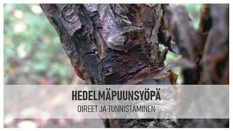Thumbnail for entry Hedelmäpuunsyövän oireet ja tunnistaminen
