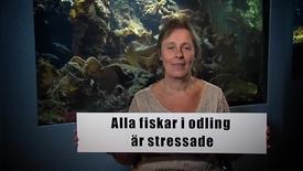 Miniatyr för inlägg Alla fiskar i odling är stressade