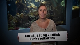 Miniatyr för inlägg Det går åt 3 kg vildfisk per kg odlad fisk