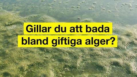 Thumbnail for entry Gillar du att bada bland giftiga alger?